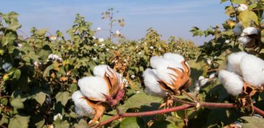 Farming Cotton
